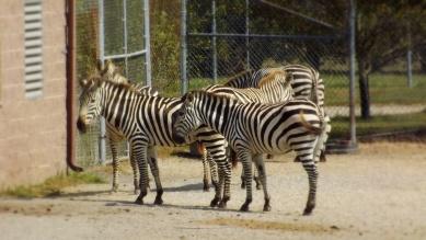 Family of Zebra