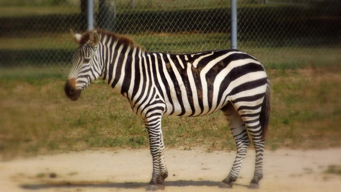 Standing and thinking Zebra