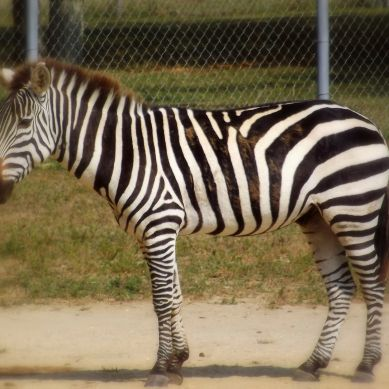 Standing and thinking Zebra