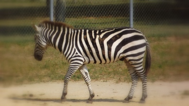Walking zebra